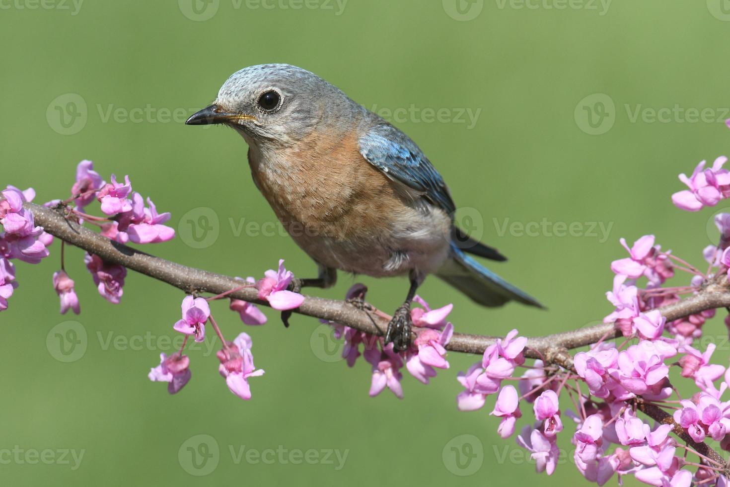 kvinnlig östra blåfågel foto