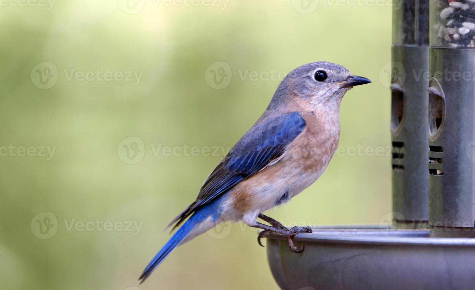 kvinnlig blåfågel vid mataren foto