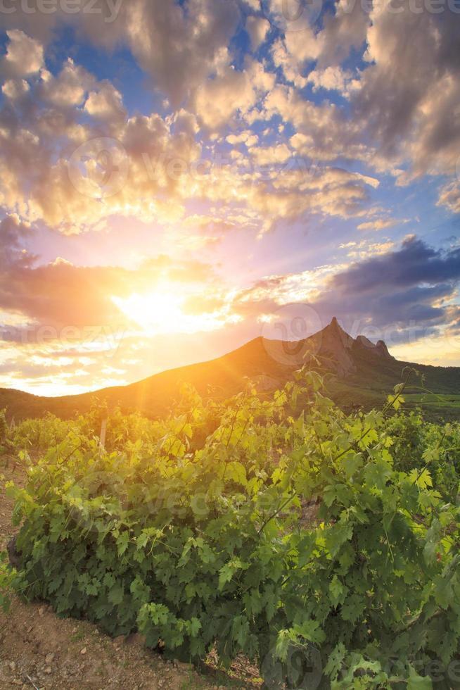 vingårdar vid solnedgången foto