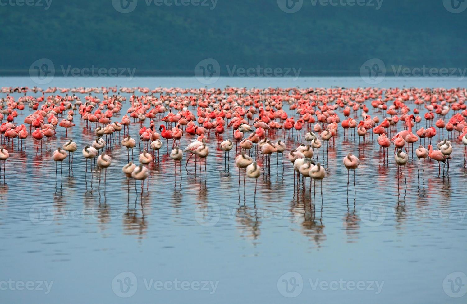 flockar av flamingo foto
