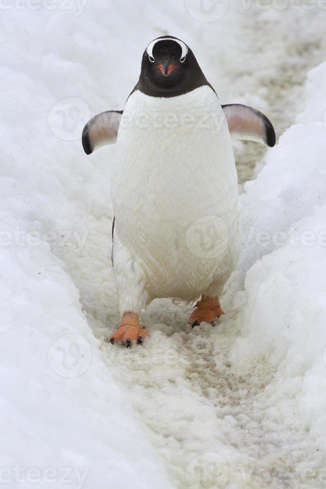gentoo-pingviner som går längs en spår 6 foto