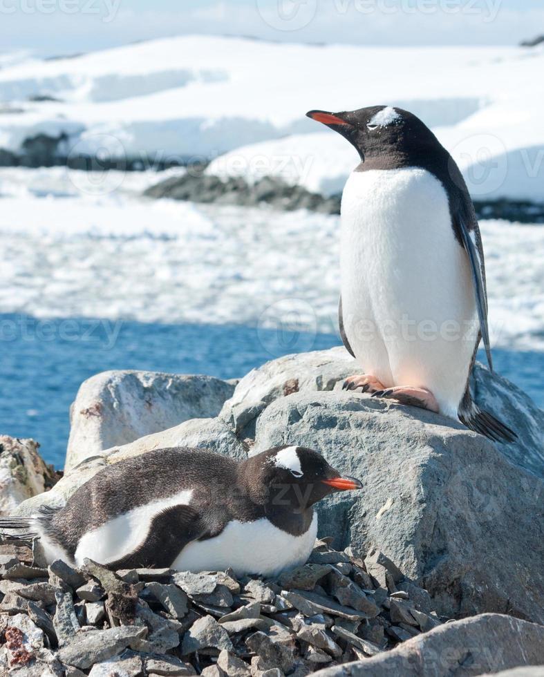 manliga och kvinnliga gentoo-pingviner nära boet. foto