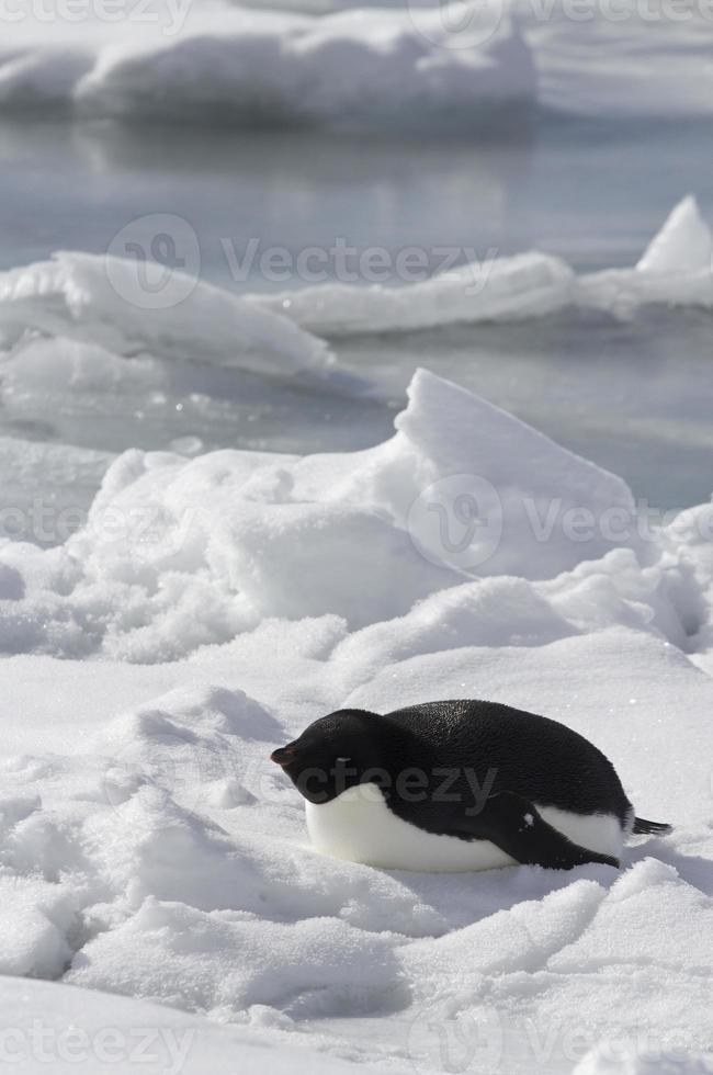 adeliepingvin som ligger på det frysta havet foto