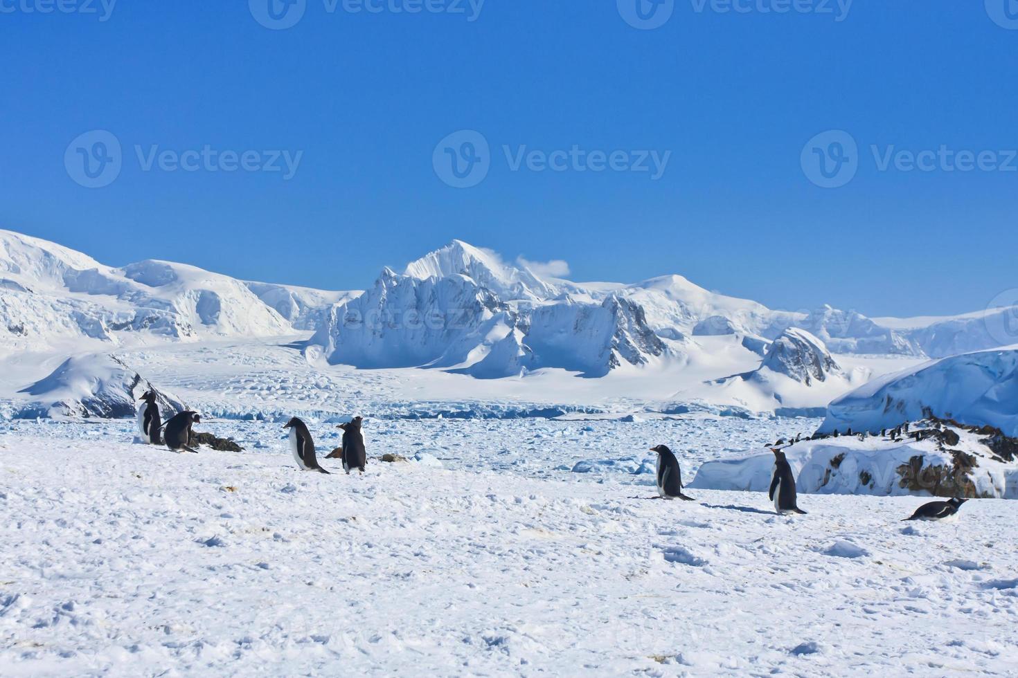 stor grupp pingviner foto