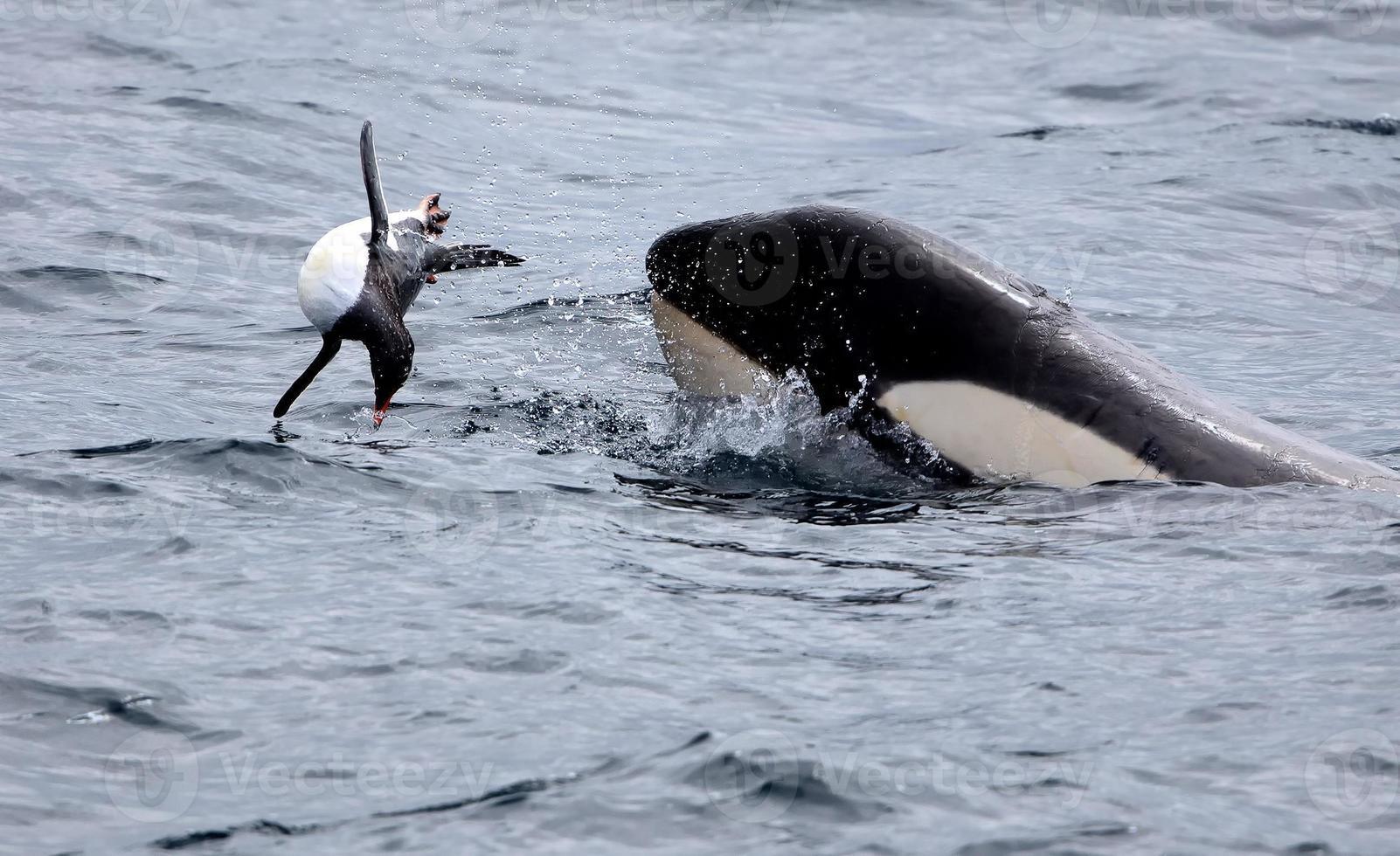 späckhuggare som leker med gentoo pingvin foto