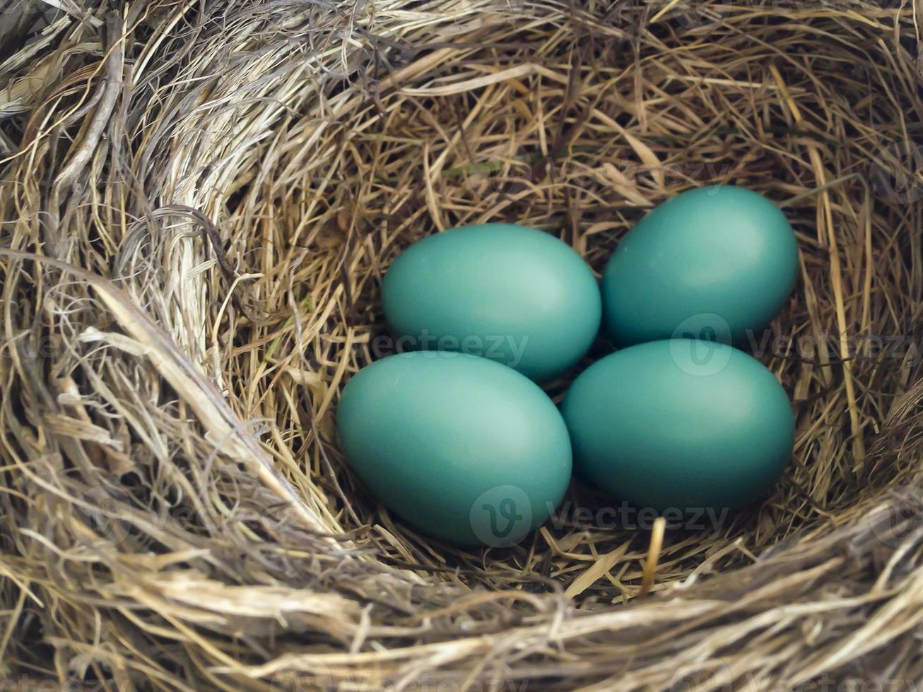 baby Robin ägg i boet foto
