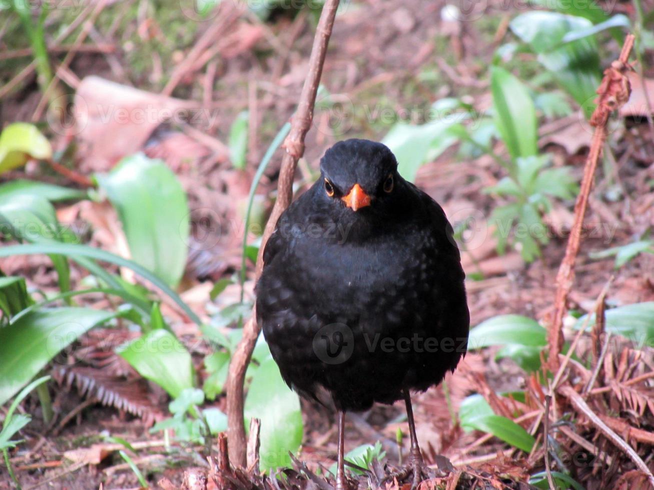 äkta trast eller vanlig svartfågel foto