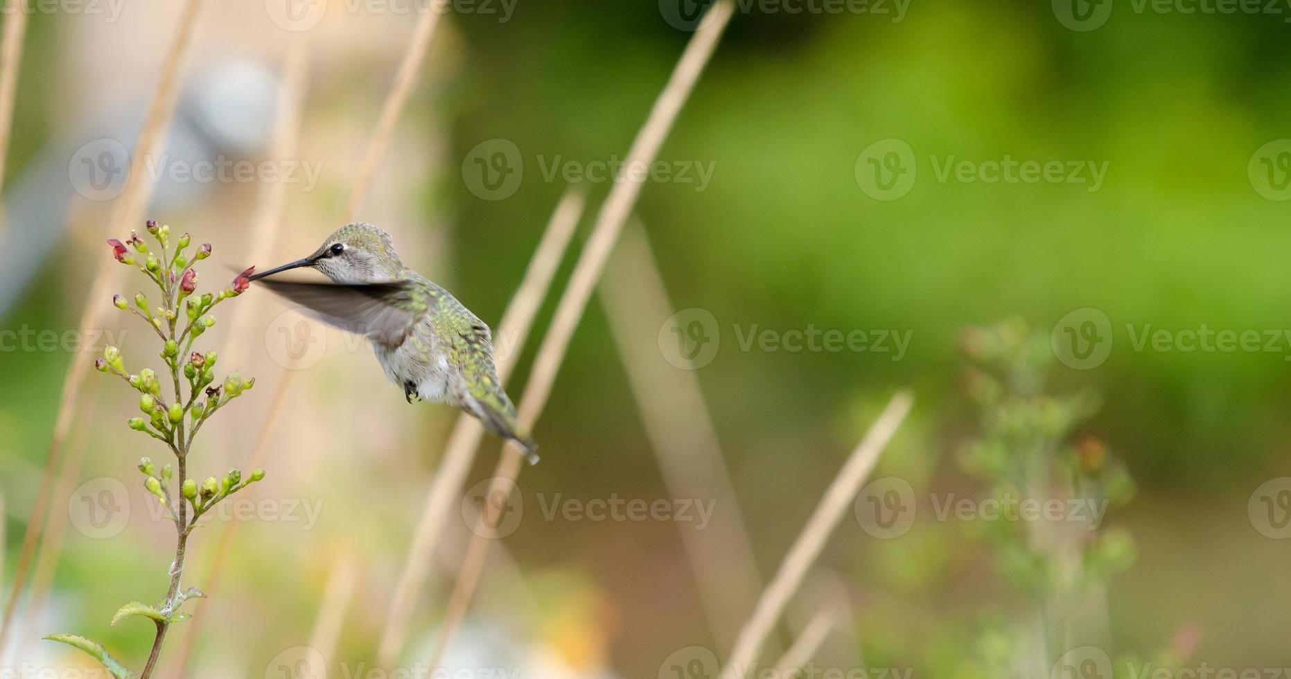 kvinnlig Anna kolibri på blomman foto