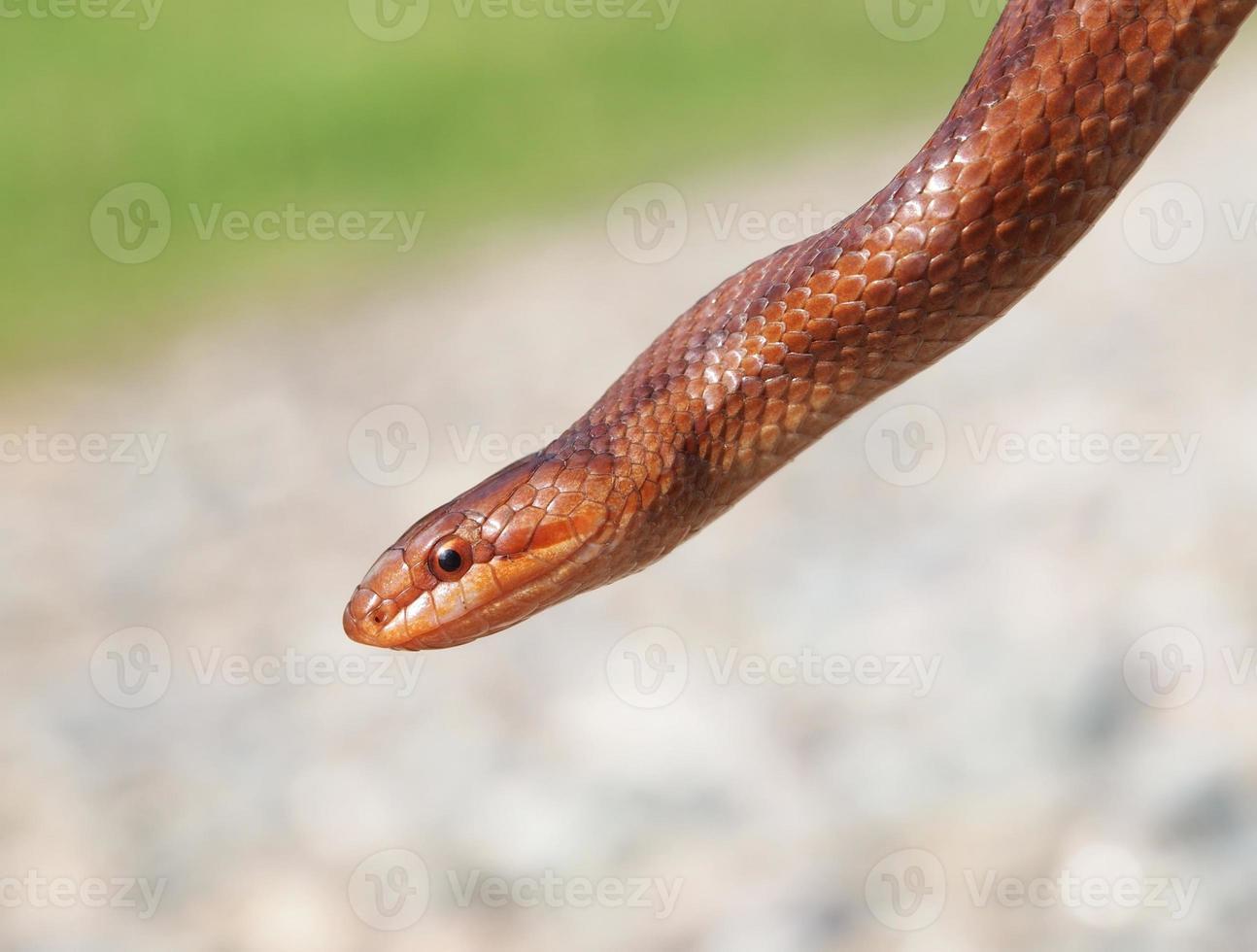 mjuk orm närbild - coronella austriaca foto