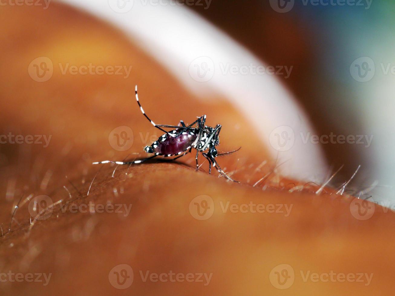 mygga som suger mänskligt blod på extrem makro foto
