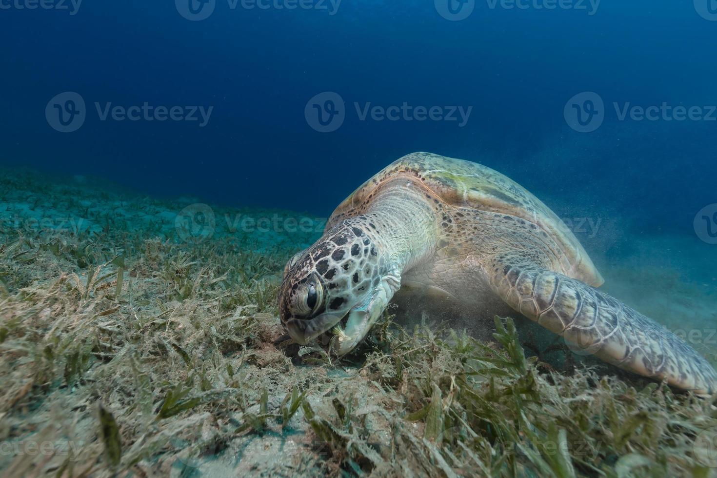 kvinnlig grön sköldpadda som äter havsgräs. foto