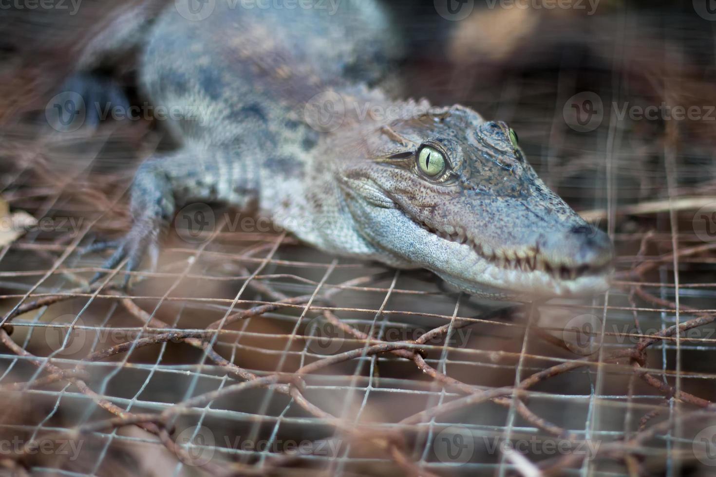 krokodilen foto