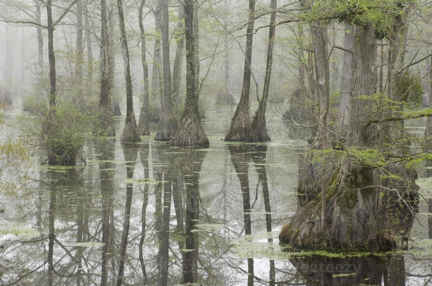 cypress träsk foto