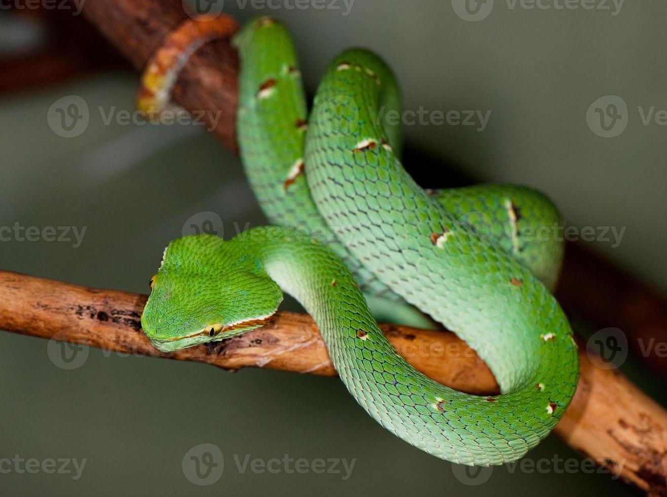 tropisk grön orm på en trädgren foto