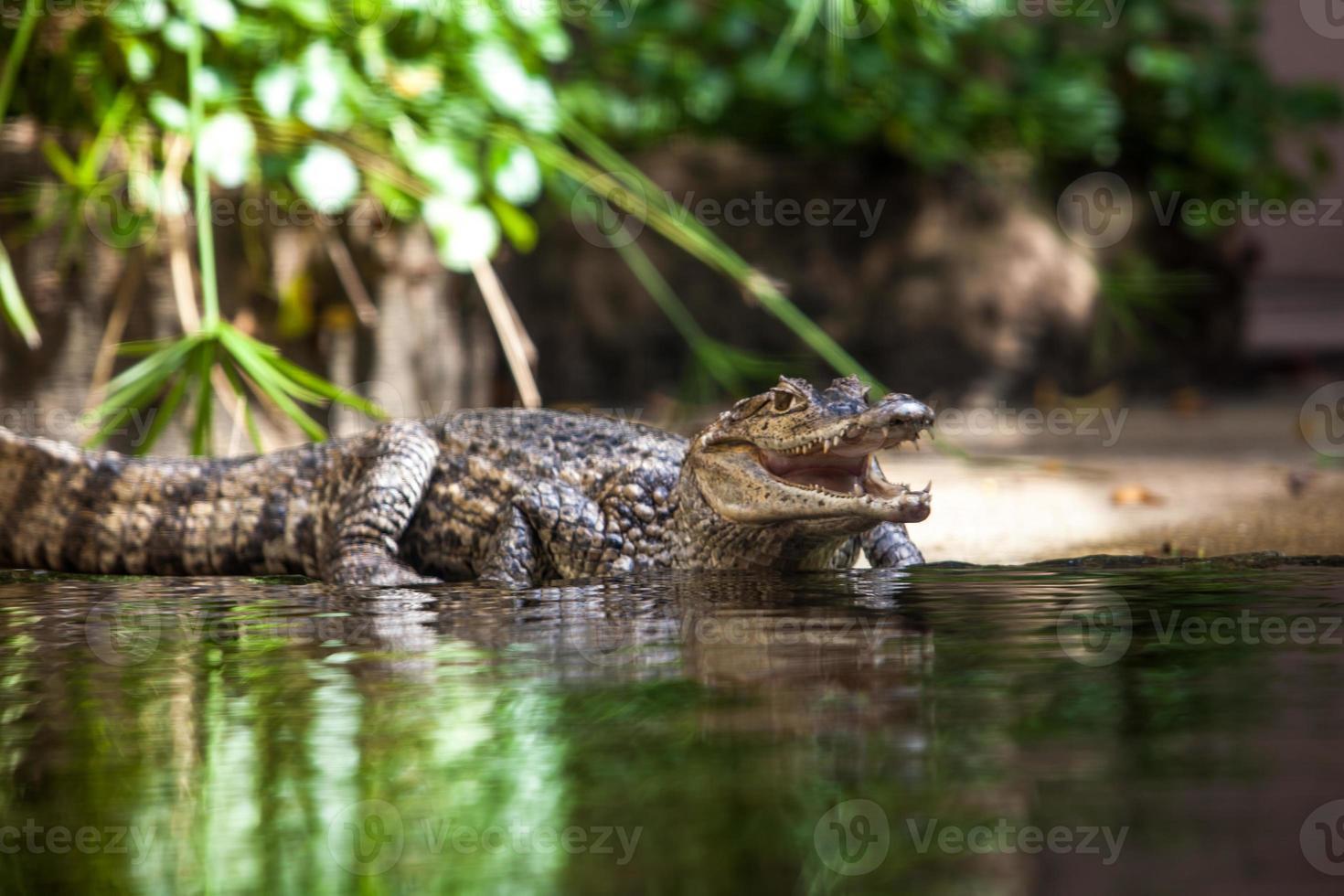 caiman crocodilus. ung alligator foto