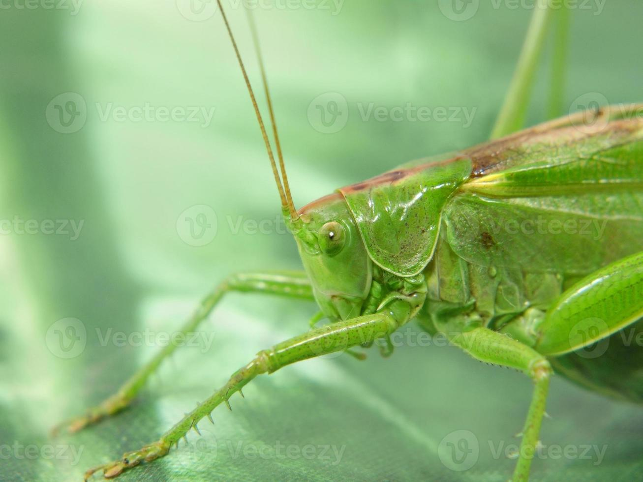 grön gräshoppa. foto