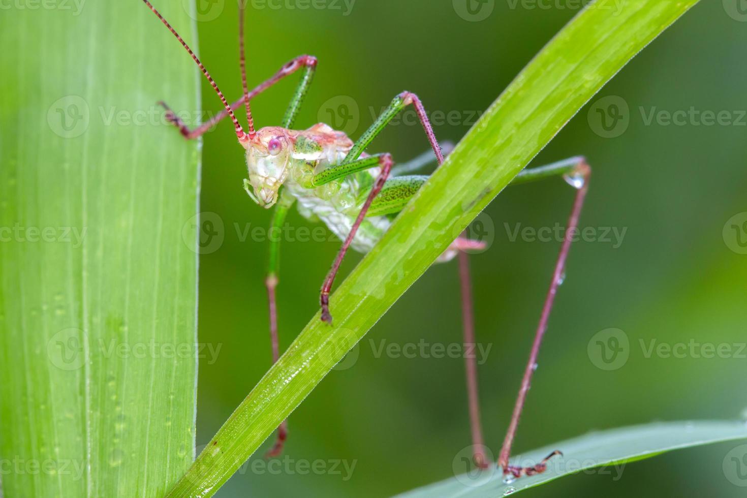 gräshoppa på gräs foto
