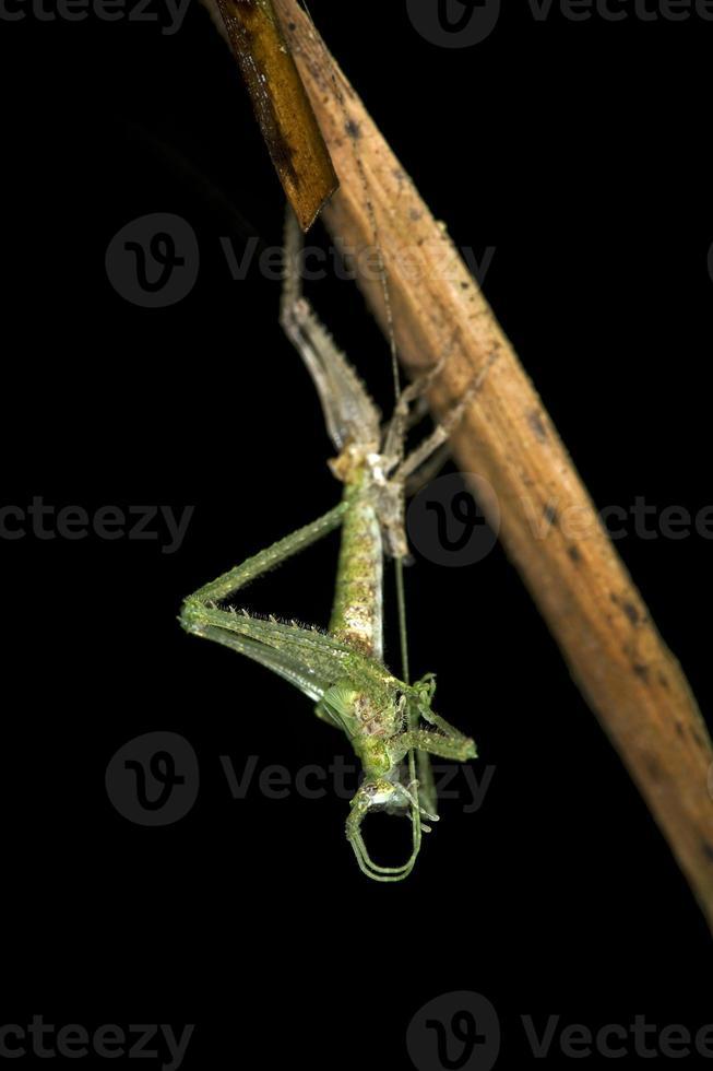 kläckning av en ensifera långhornad gräshoppa foto