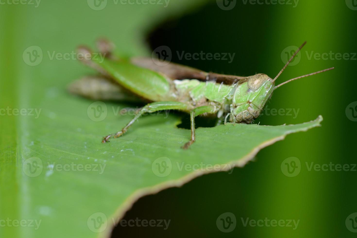 makro av gräshoppa som äter grönt blad foto