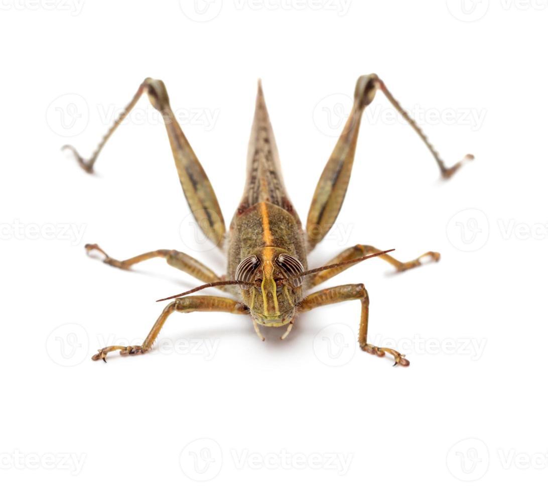 gräshoppa isolerad på vit bakgrund foto