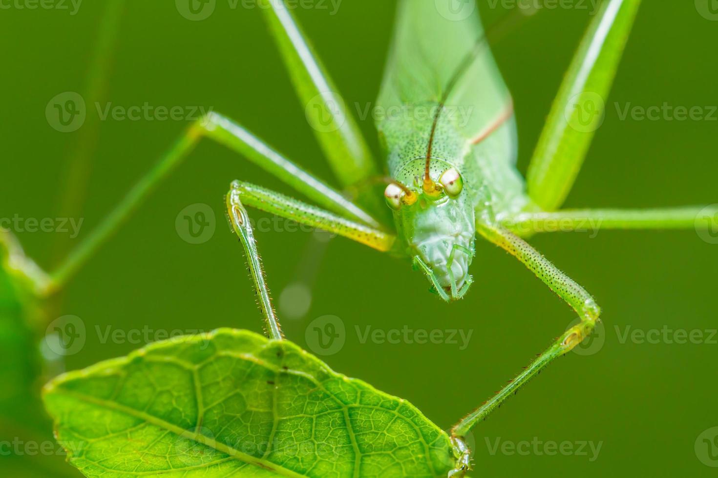 konstig gräshoppa foto