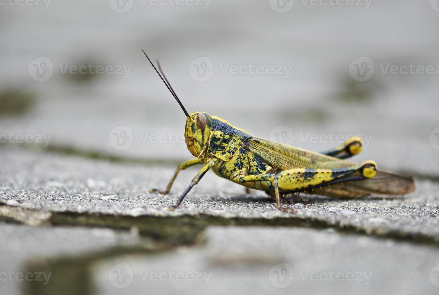gräshoppa på marken foto