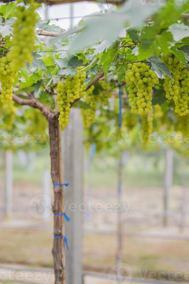 färska gröna druvor på vingårdar tak, Thailand. foto