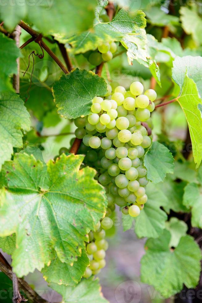 massor av vita druvor på vinstockarna foto