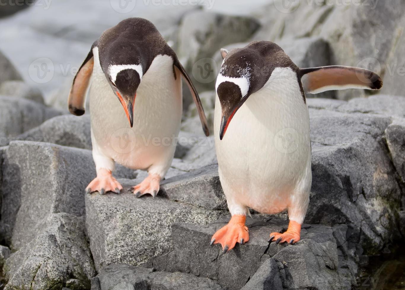 hoppande gentoo-pingviner foto