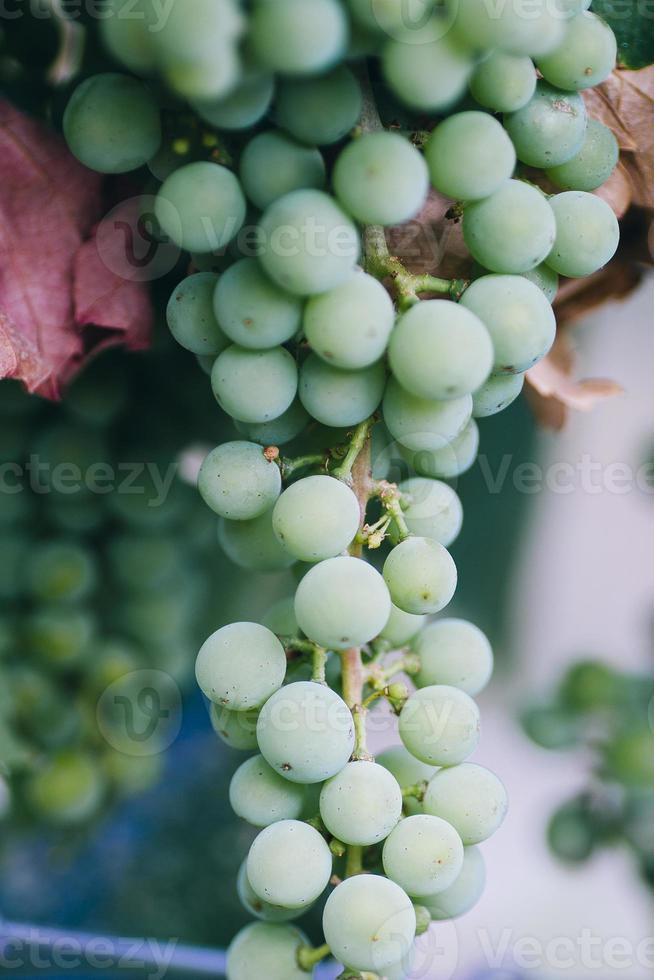 druvor från en vingård foto