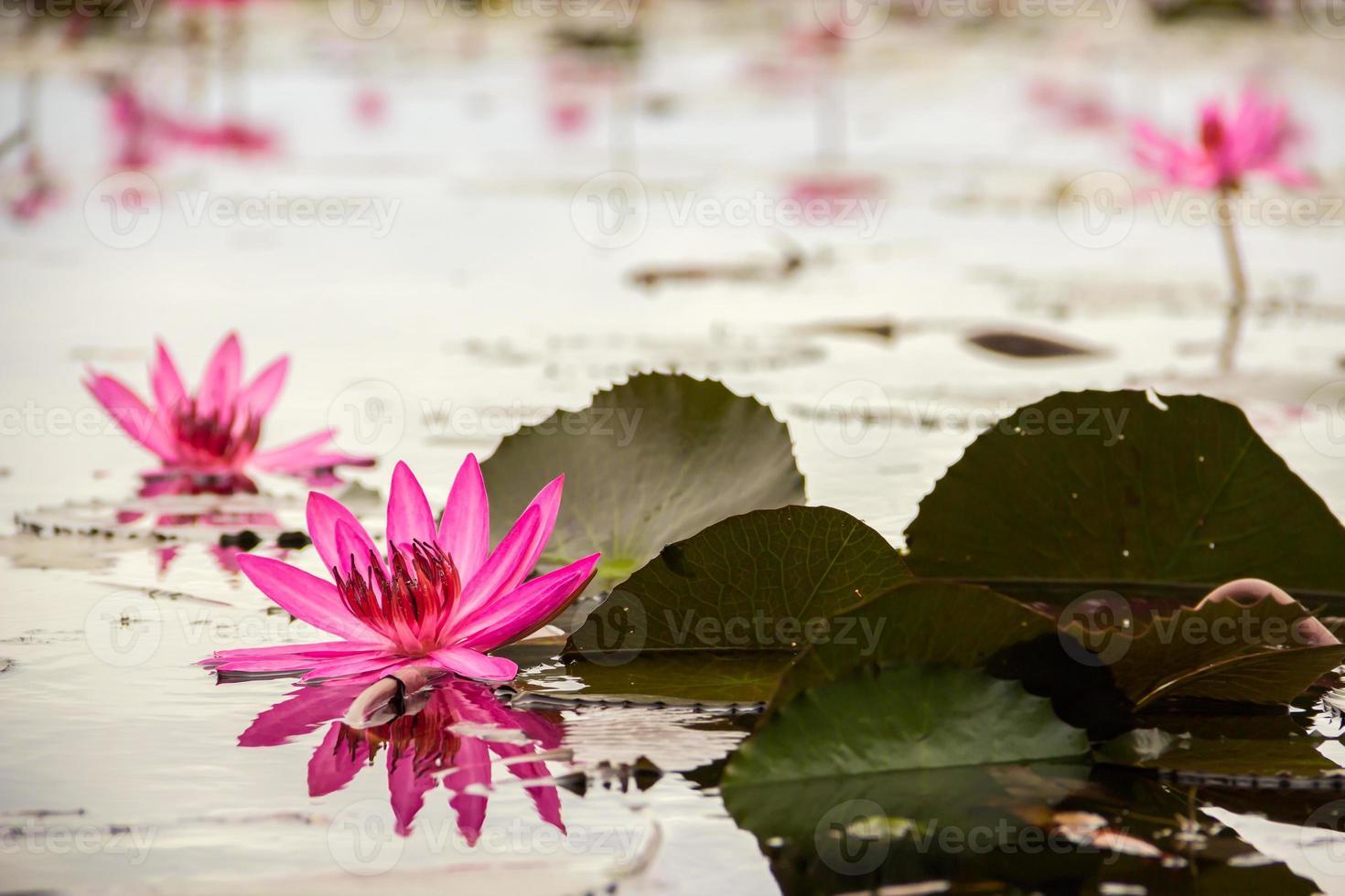 lotusfältsjö stor i udon thani i Thailand foto