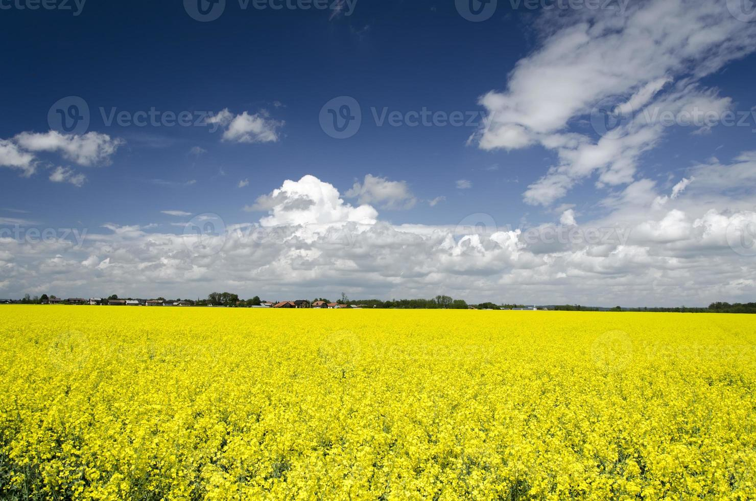 senap blommor fält foto