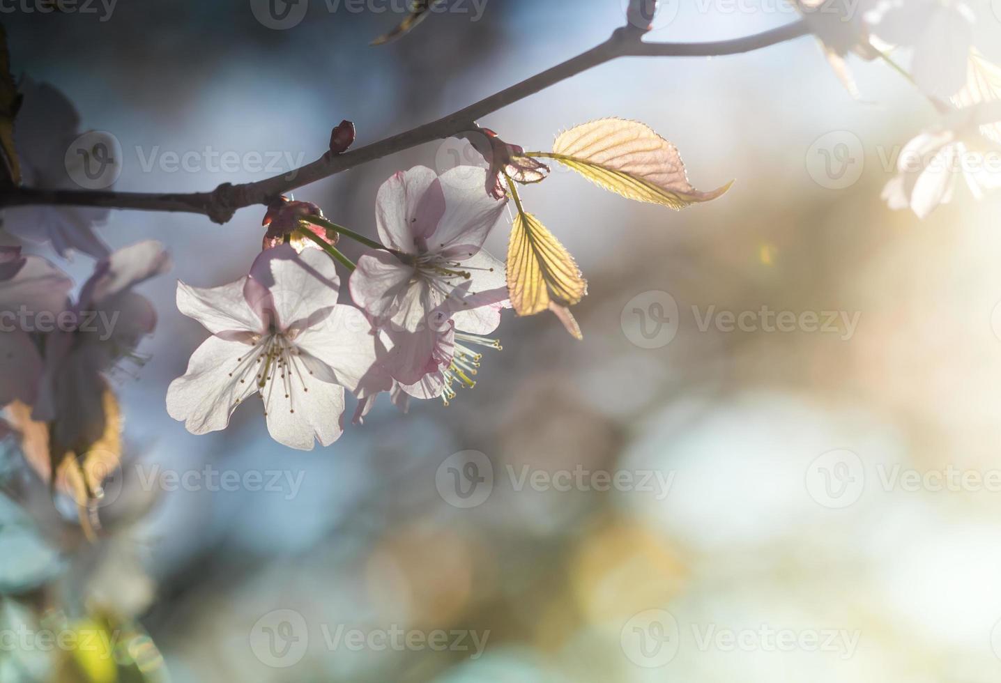 vacker rosa körsbärsblomning och blad foto