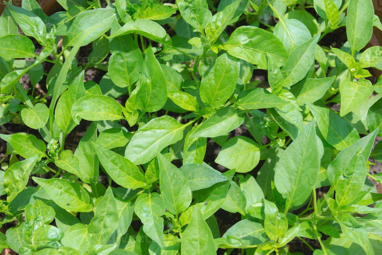 hemgjorda ekologiska grönsaker foto