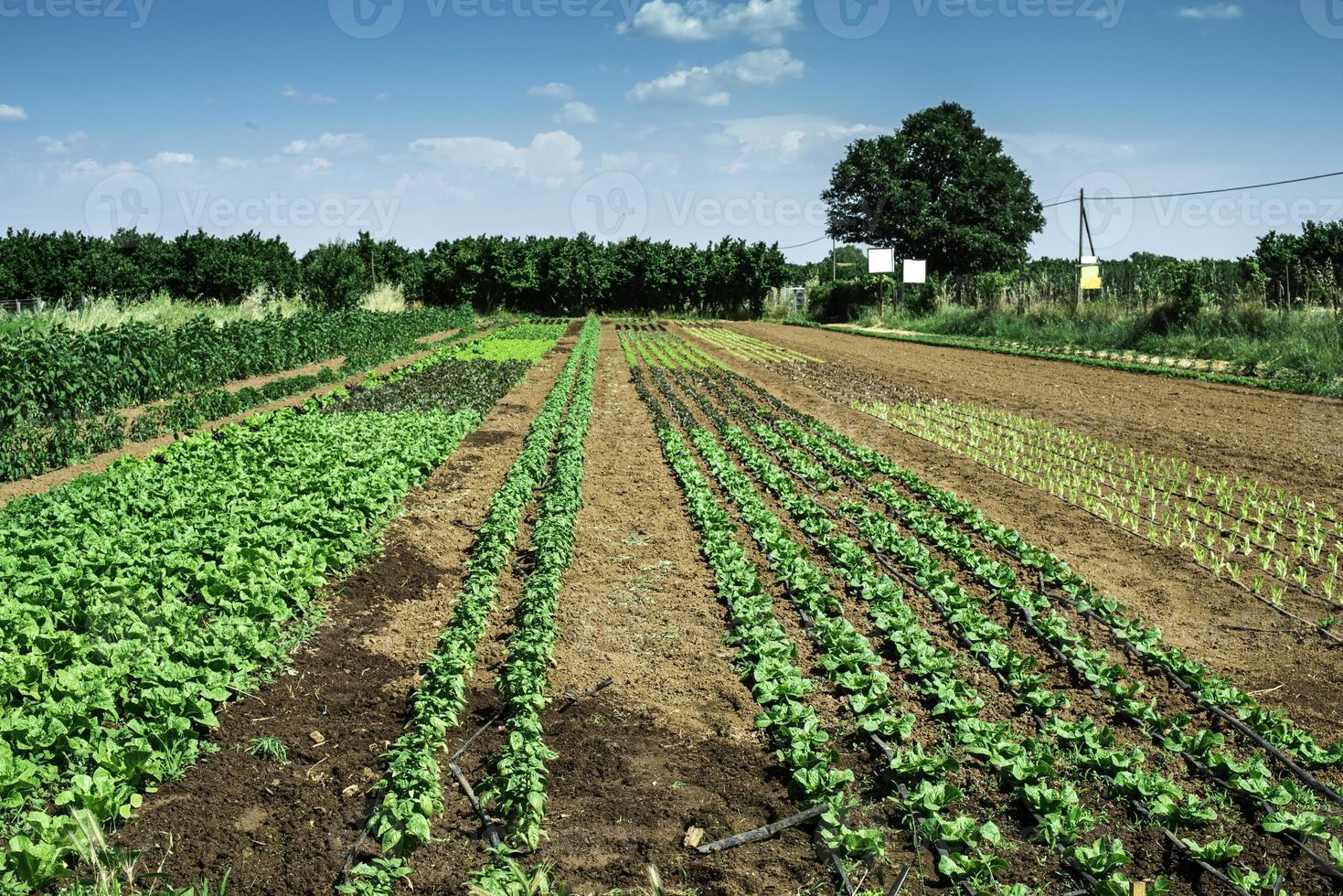 plantager med sallad foto