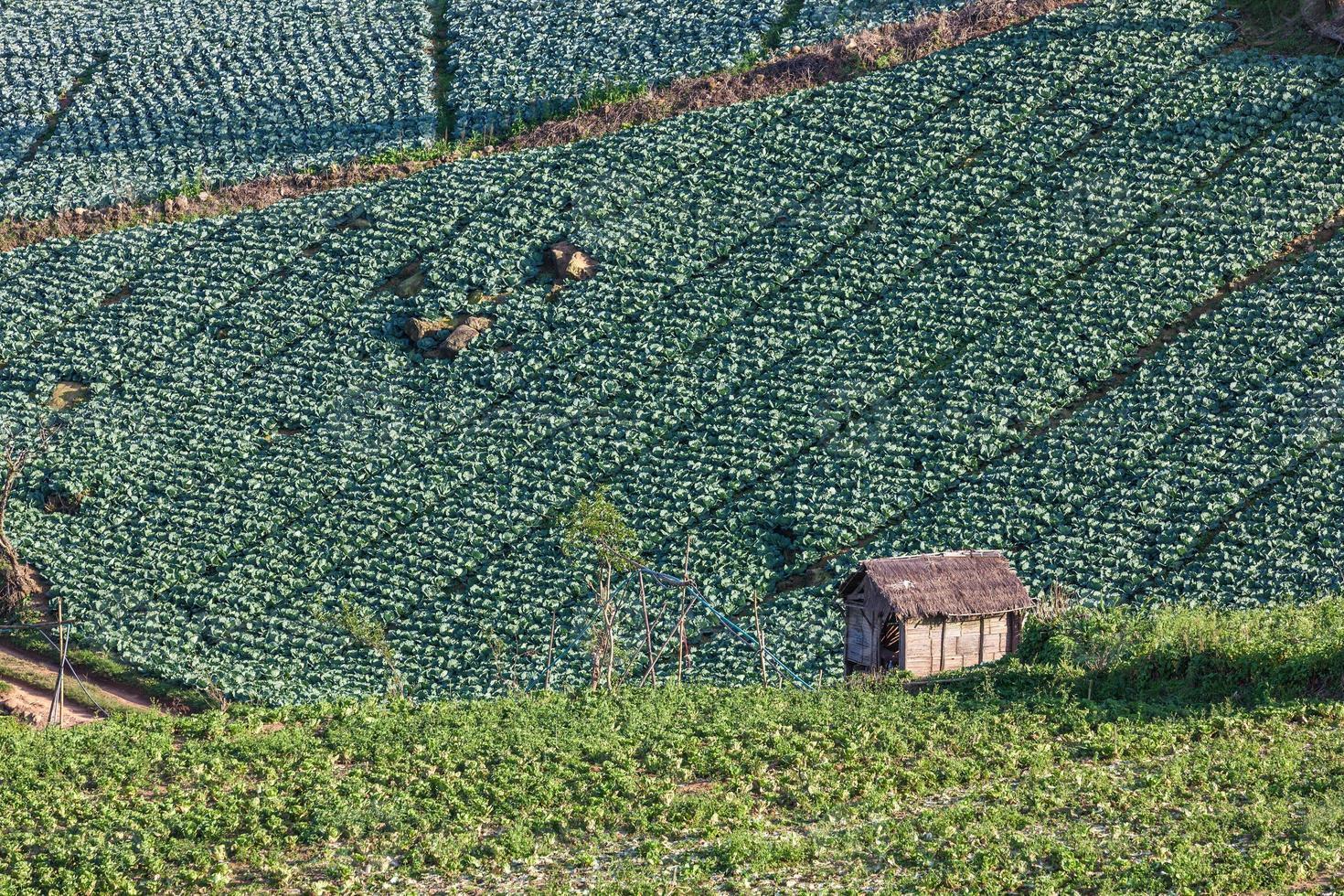 kålplantagefält på berget foto
