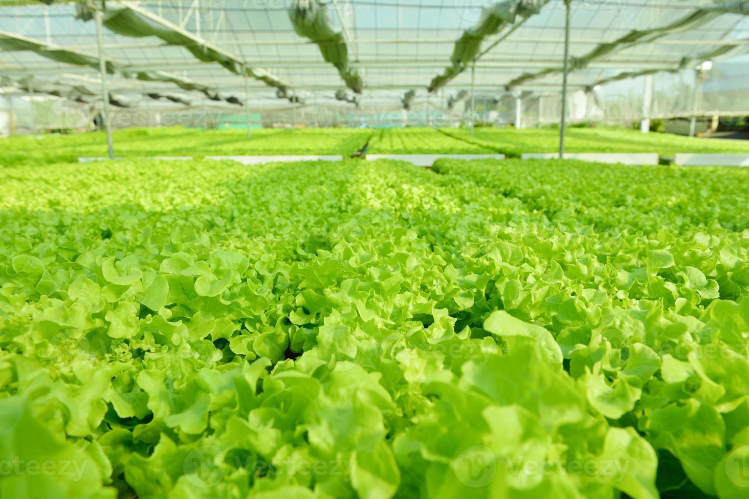 röd ek, grön ek, frillice isberg, odling hydroponic gr foto
