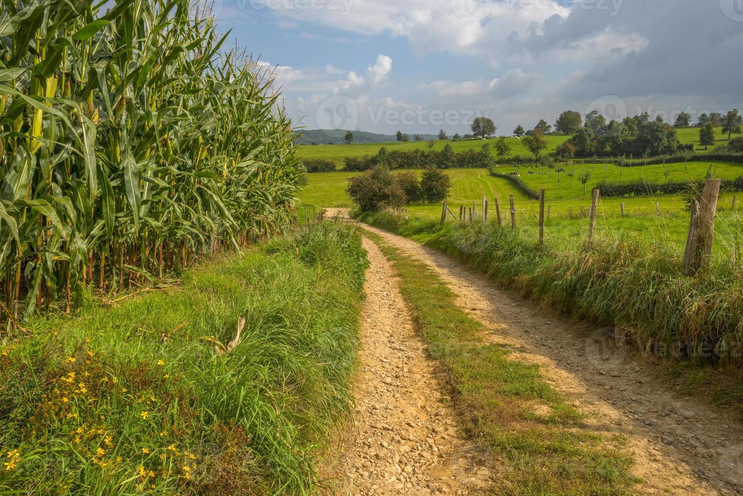 majs växer på ett fält på sommaren foto