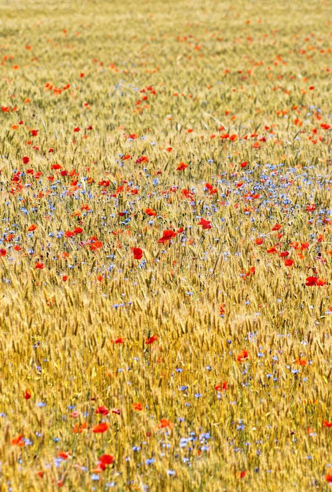 vete fält med vallmo fält foto