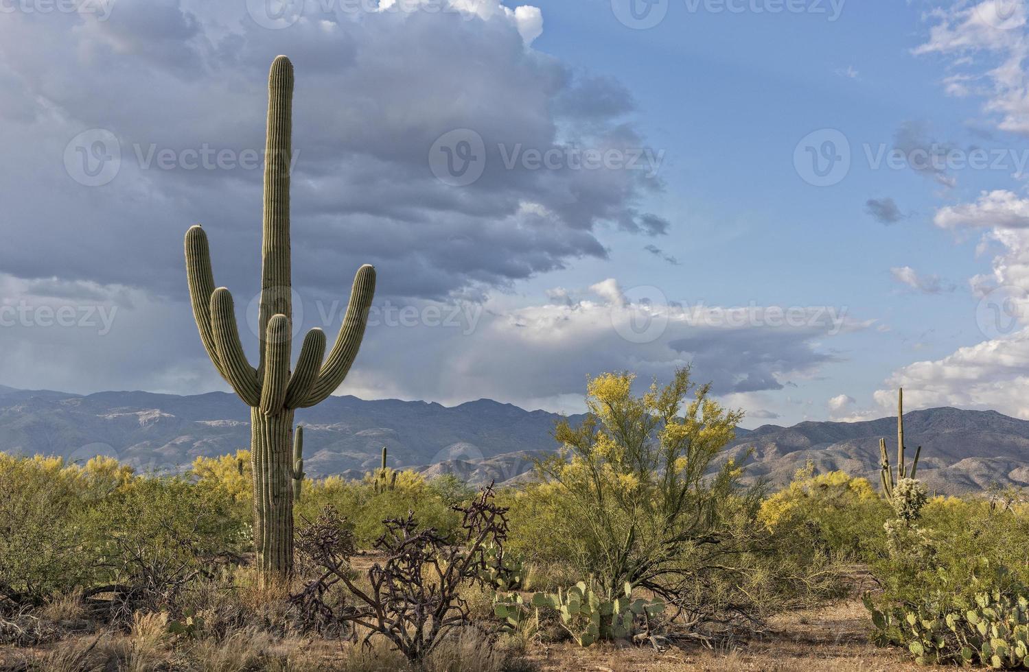 saguaro landskap foto