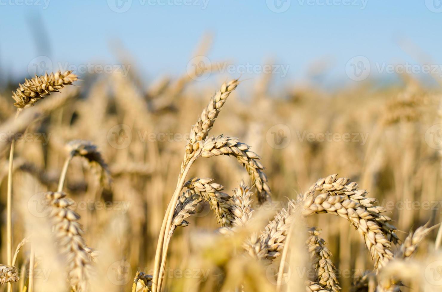 majsfält - växande majs foto