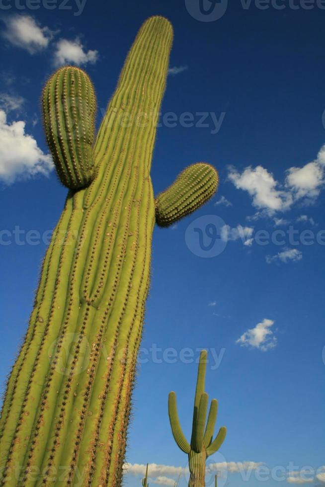 tornande saguaro kaktus foto