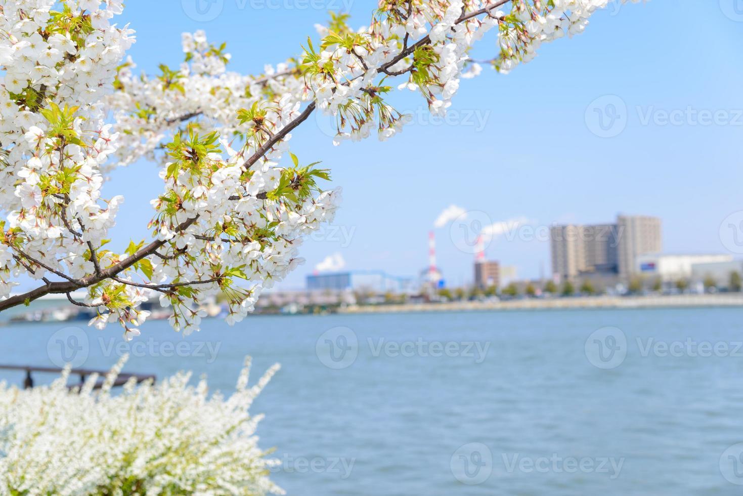 körsbärsblommor och flod foto