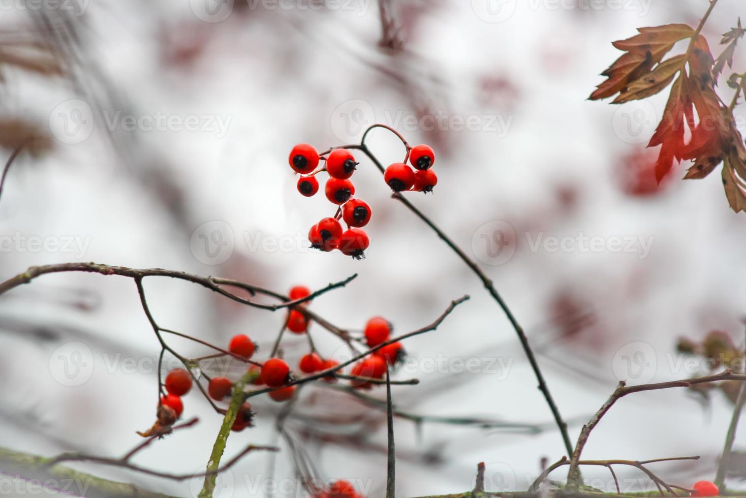 röda vinterbär foto