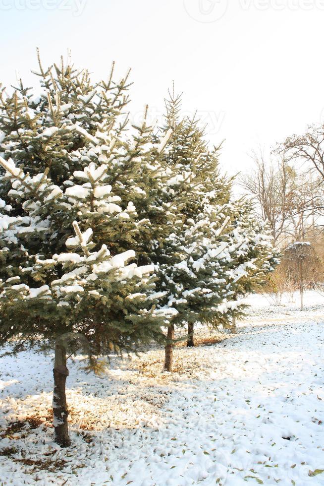 vinter tall träd foto