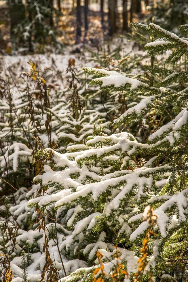 skog under vintern foto