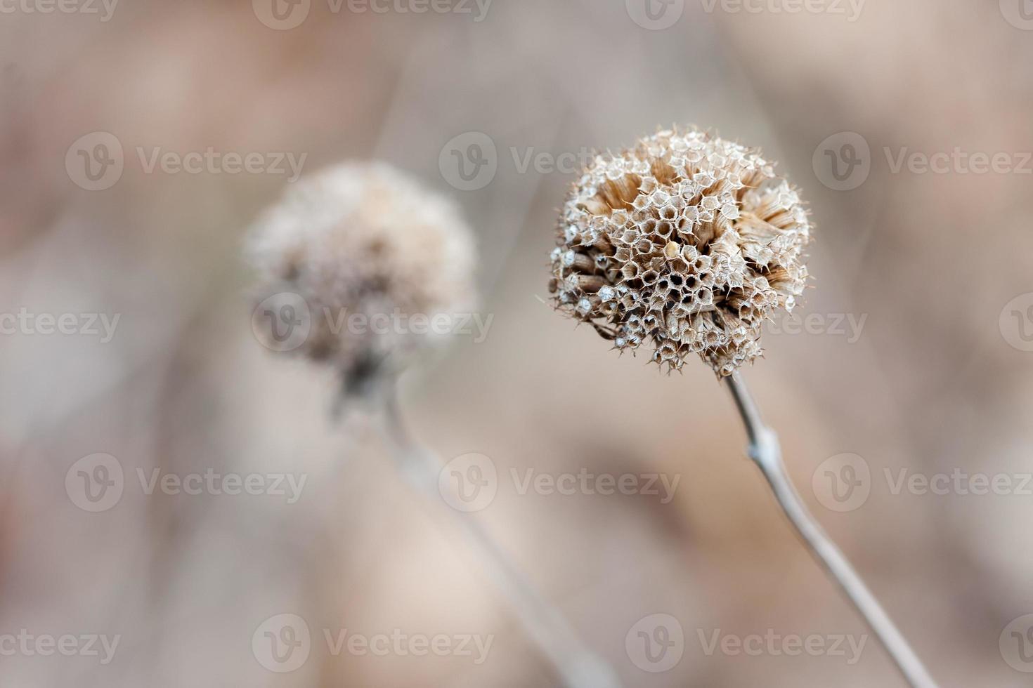 tistel på vintern foto
