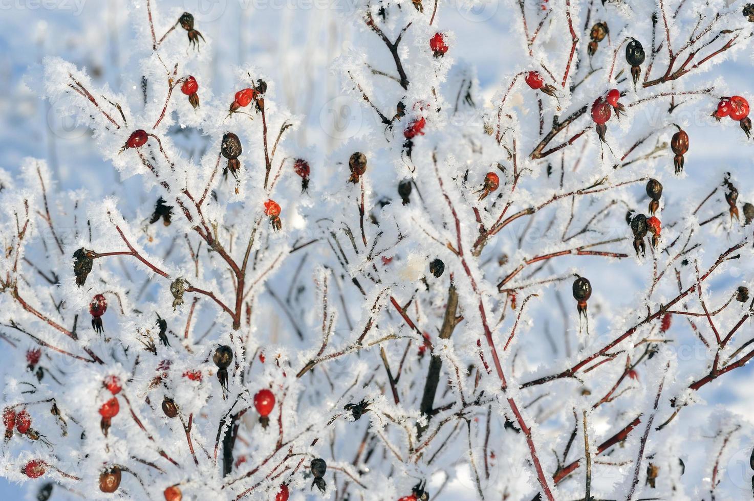 dogrose på vintern foto