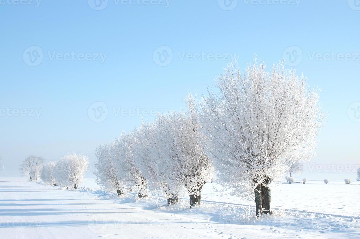 pilträd på vintern foto
