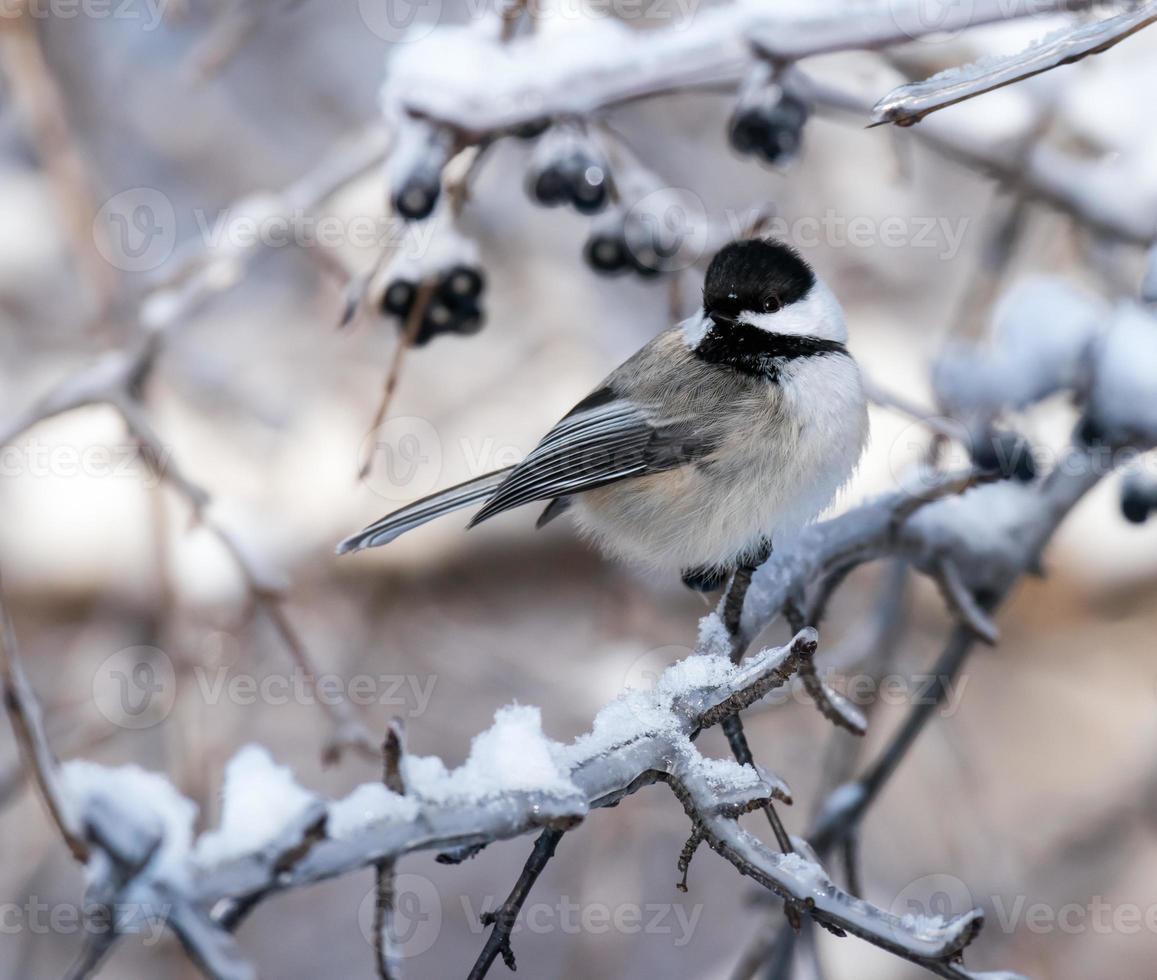 svartkapslad chickadee på vintern foto